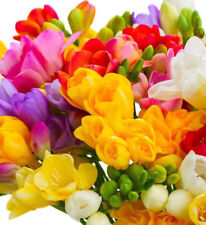 Freesia 50 Prepared Single Scented mixed spring Flowering bulbs size 6/7