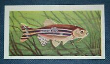 ZEBRA FISH   Tropical Fish  Superb Illustrated Card