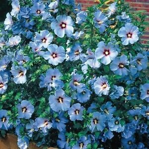 15+ BLUE ROSE OF SHARON FLOWER SEEDS / HIBISCUS / PERENNIAL