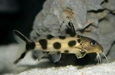 Synodontis decorus (Clown Catfish)