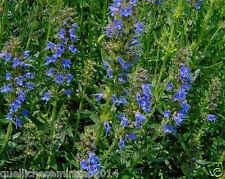 500 SEMI DI ISSOPO Hyssopus officinalis - Piante aromatiche-ricette