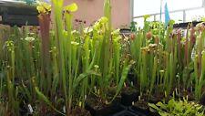 Sarracenia, +20 semi/seeds. Ibridi creati da me, hand made hybrids.