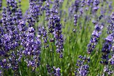 120 Samen Lavendel Lavandula angustifolia Bienenweide, Kräuter der Provence