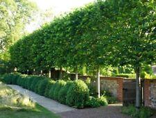 American Hornbeam tree (Carpinus caroliniana) quart pot