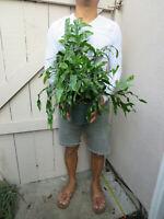 Kangaroo Paw Fern house plant