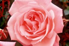 Climbing Pink Rose Bare Root Plant 'Dancing Queen' Scented Flowering Roses