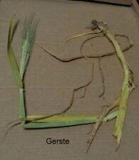 Getreide mit Wurzel, für Herbarium, frei wählbar, Süßgräser (Poaceae)