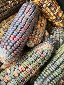Earth Tones Dent Corn - Maize - 10+ seeds - Semillas - Graines - Samen