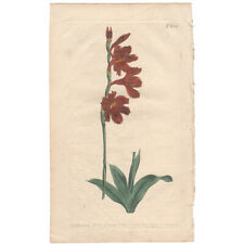 Curtis antique 1st ed 1803 hand-colored engraving, Pl 601 Short-Leaved Watsonia