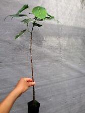 2 FEET Ficus religiosa Buddha Sacred Fig BodhiTree Bonsai Plant