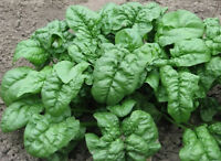 Spinach Heirloom GIANT NOBLE 2000 SEEDS❋Large Slow to Bolt***COMBINE SHIPPING*