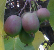 Die frosthärteste Kiwi der Welt : Actinidia arguta / bis - 30° winterhart /Samen