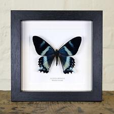 Alcides Orontes Moth in Box Frame (Maluku Islands) Entomology Frame