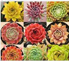 Rare Sempervivum Mix Succulent 100 Seeds Tenerife Free worldwide shipping
