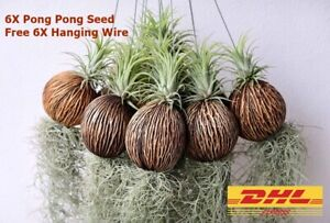 6x Pong Pong Seed Home Decor Vanda Orchid Cactus Dried Hanging Flower Vase