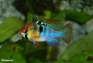 3-4cm GERMAN BLUE RAM  MICROGEOPHAGUS RAMIREZI DWARF CICHLID Live Tropical Fish