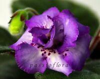 Mini Sinningia HCY's TAURUS tuber African Violet kin