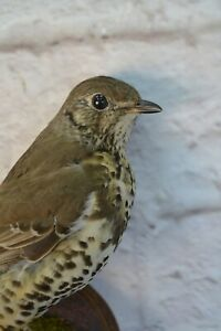 Taxidermy thrush Real Stuffed mounted Colored Bird