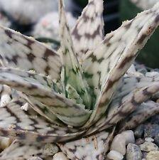 Aloe Blizzard Cactus Cacti Real Succulent Plant