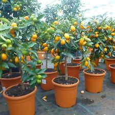 Citrus Kumquat Fortunella Zwergorange Orangenbaum ca. 60 - 80 cm