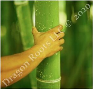 5-PACK Giant Japanese Timber 'Madake' Running Bamboo 12 inch Rhizomes 4 PRIVACY