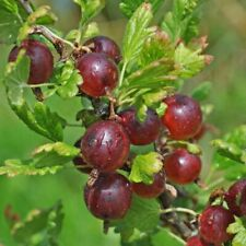 1 Jeanne Gooseberry live rooted plant,  edible Shrub zones 3-7.