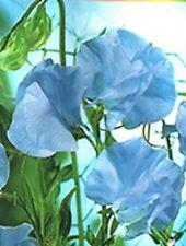 "Organic Flower seeds Sweet Pea ""Tommy"" Fragrant (Lathyrus odoratus) from Ukraine"