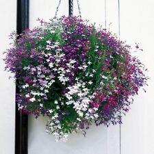 F0287 Lobelia Cascade Mix x100 seeds, Colourful Trailing Plant