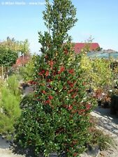 "20 Pyramical English Holly seeds - Ilex aquifolium "" Pyramidalis """