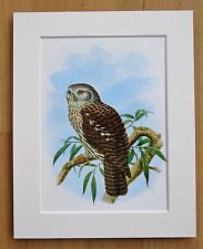 Owl - Mounted Vintage John Gould Print 1960 Book Plate New Guinea