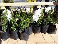 "Buxus microphylla Faulkner Dwarf Japanese Box Hedge $4 ea 200mm  ""Dark green"""