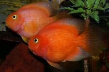 """x3 BLOOD PARROT CICHLID SM/MD - 1""""-2"""" - FRESHWATER FISH -FREE SHIPPING"""