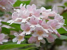 8 graines de Buisson de Beauté (Kolkwitzia Amabilis)G661 BEAUTY BUSH SEEDS SAMEN