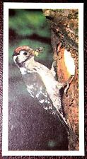 LESSER SPOTTED WOODPECKER     Superb Colour Photo Card  VGC