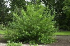 25 Common Osier Willow 4-5ft, For Basket Making,Salix Viminalis Hedging Plants