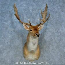 #15501 WC | Fallow Deer Taxidermy Shoulder Mount For Sale