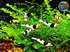 10 +1 Crystal Black Shrimp Cbs (Mixed Grade S-Sss) - Live Guarantee - Usa Stock