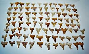 """OTODUS Shark Tooth Real Fossils ¾-1 Inch (S) Lot of 100 Teeth """"C"""" Grade 14517"""