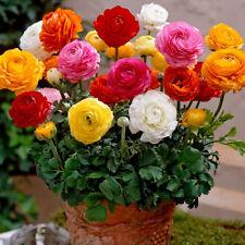 20Pcs Ranunculus Persian buttercup Flower Seeds perennial  Exquisite packaging