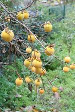winterfester Kaki-Baum Diospyros kaki / gesund und sehr lecker / Jungpflanze
