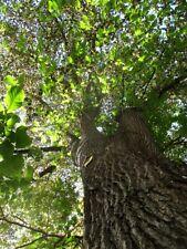 Bergulme 50+ Samen -ulmus glabra-  -Eingetragener Händler für Forstsaat-