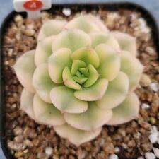 "Echeveria ""Nicksana variegated"" 040115 / Sun & Moon Succulent"