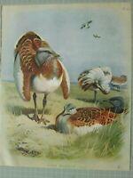 Hermoso Thornburn Estampado Pájaros Gran Avutarda