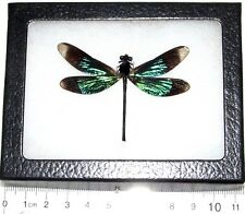 Real Green Black Dragonfly Damselfly Framed Insect Calopteryx Virgo