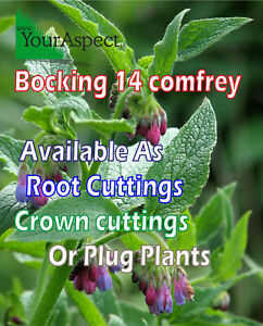 Bocking 14 comfrey Roots (Symphytum x uplandicum 'Bocking 14')as Roots & Plants