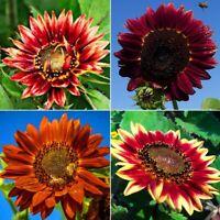 100stk Samen Prächtiger Sonnenblumen Bunte Sonnenblume Red Sun Jahresblum Deko