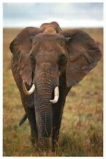 African Elephant, Mammal of Africa Tanzania etc., Tusks - Modern Animal Postcard