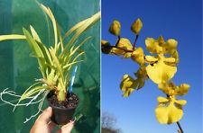 Nohawenkoa Alohi, orchidée, Orchid, RARE