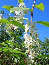 BIRD CHERRY Prunus Padus Tree Shrub Almond Scented Flowers Berries 5ft Potted