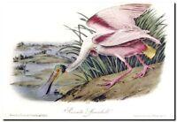 """Vintage Audubon Bird Art CANVAS PRINT~ ROSETTE SPOONBILL 16""""X12"""""""